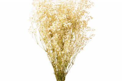 Gypsophila Paniculata Natural 01