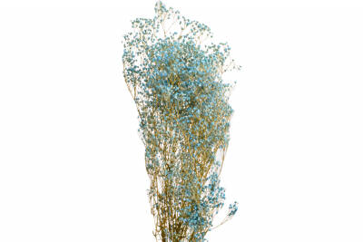 Gypsophila Paniculata Color 71