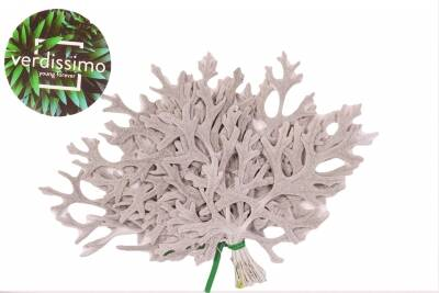 Frunze Cineraria grey