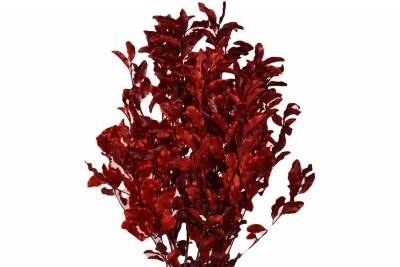 Pittosporum buchet Red