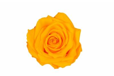 Rosa Premium warm yellow