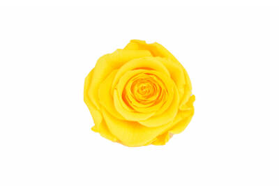 Rosa Standard Bright Yellow 2